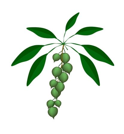 macadamia: Fresh Macadamia Nuts on A Tree, Good Source of Dietary Fiber, Vitamins and Minerals.