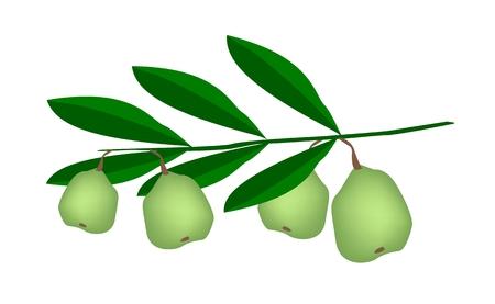 dietary fiber: Illustration of Fresh Green Walnuts on A Tree, Good Source of Dietary Fiber, Vitamins and Minerals.