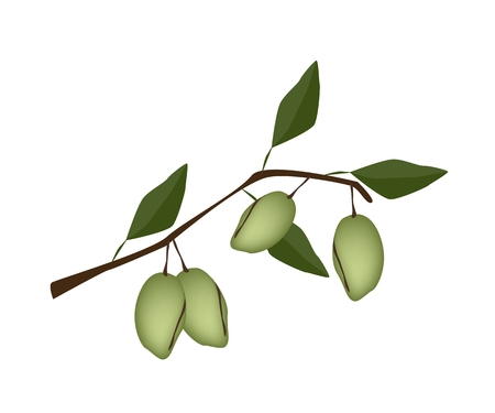 Fresh Green Almonds on A Tree, Good Source of Dietary Fiber, Vitamins and Minerals.  Vector