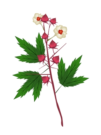 sorrel: Food and Herb, An Illustration of Fresh Hibiscus Sabdariffa or Roselle Plant with Blossoms, Leaves and Fruits.  Illustration