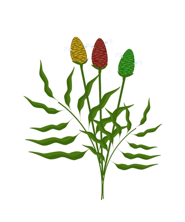 tuberous: Vegetable and Herb, An Illustration of Fresh Zingiber Zerumbet or Shampoo Ginger Plant with Corn and Blossom Used in Herbal Medicine.