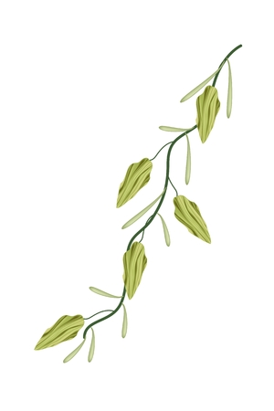 remedy: Vegetable and Herb, An Illustration of Fresh Green Cardamom Pods on A Stem Used for Seasoning in Cooking.  Illustration