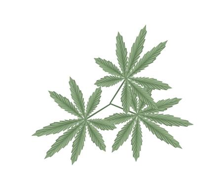 Vegetable and Herb, An Illustration of Fresh Cannabis, Hemp or Marijuana Leaves Used for Medicinal Purposes or Recreational Drug.  Illustration