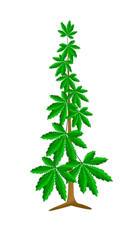 Vegetable and Herb, An Illustration of Fresh Cannabis, Hemp or Marijuana Plant Used for Medicinal Purposes or Recreational Drug.  illustration