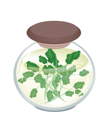 Vegetable and Herb, An Illustration of Pickled Watercress or Nasturtium Officinale in Brine of Vinegar and Salt in A Glass Jar Isolated on White Background.  Vector
