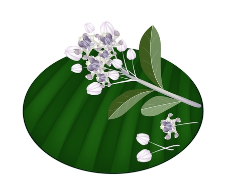 milkweed: Beautiful Flower, An Illustration Group of Fresh Calotropis Gigantea Flower or Crown Flower on Green Banana Leaf Isolated on A White Background  Illustration
