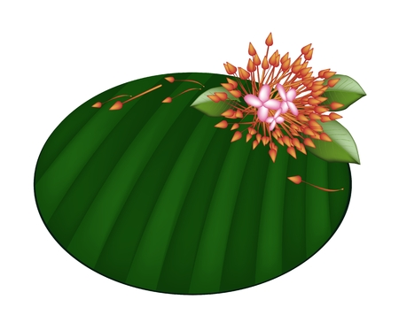 Beautiful Flower, An Illustration Fresh Red Ixora Flowers on Green Banana Leaf Isolated on A White Background  Vector