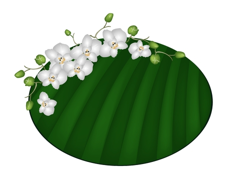 A Symbol of Love and Luxury, An Illustration Beautiful Moon Orchid or Phalaenopsis Amabilis on Green Banana Leaf.  Vector