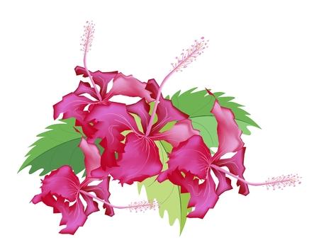 beautiful red hibiscus flower: Bella Flor, Ilustraci�n Grupo de flores rojas del hibisco frescas o Bunga Raya en las hojas verdes aisladas sobre un fondo blanco