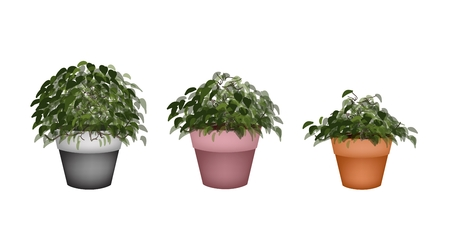 peepal tree: Houseplant, Illustration of Three Beautiful Bonsai Tree or Small Plants in Flowerpots for Garden Decoration. Illustration