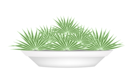 Houseplant, Illustration of Livistona Rotundifolia Palm in Ceramic Flower Pots for Garden Decoration. Vector