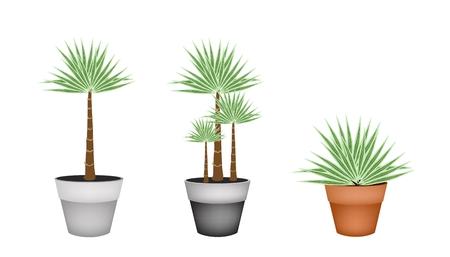 houseplant: Houseplant, Illustration of Three Livistona Rotundifolia Palm in Ceramic Flower Pots for Garden Decoration.
