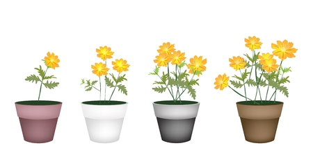 Flower and Plant, Illustration Yellow Cosmos Flowers in Four Flowerpots for Garden Decoration. Vector