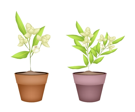 Beautiful Flower, Illustration White Color of Ylang-Ylang Flowers with Green Leaves in Terracotta Flower Pots for Garden Decoration. Vector
