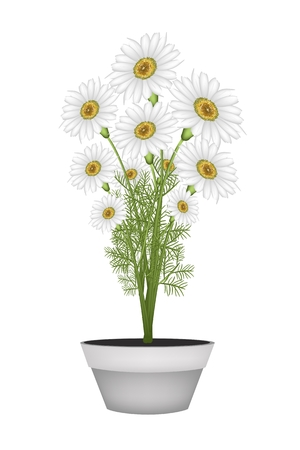 white daisy: Symbol of Love, Bright and Beautiful Chamomile Flower or White Daisy in Terracotta Flower Pot for Garden Decoration.