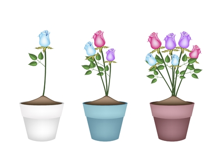 terracotta: Illustration of Beautiful Pink, Blue and Purple Roses in Terracotta Flower Pots for Garden Decoration.