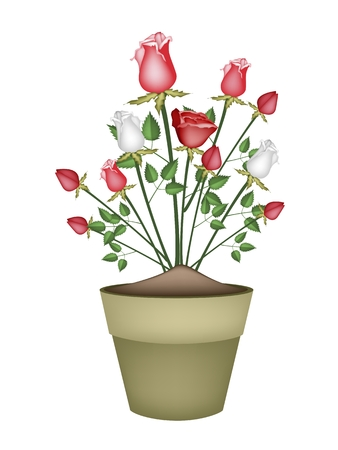 terracotta: A Symbol of Love, Illustration of Beautiful Red and White Roses in Terracotta Flower Pot for Garden Decoration.