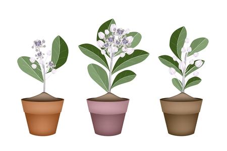 milkweed: Beautiful Flower, llustration of Fresh Calotropis Gigantea Flower or Crown Flower in Terracotta Flower Pot for Garden Decoration.