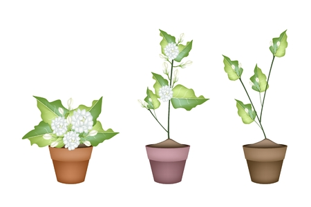terracotta: Beautiful Flower, An Illustration of Three White Jasmine Flowers on Green Leaves in Terracotta Flower Pot for Garden Decoration. Illustration