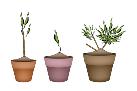 terracotta: Illustration of Three Dracaena Plant or Yucca Tree in Terracotta Flower Pots for Garden Decoration. Illustration
