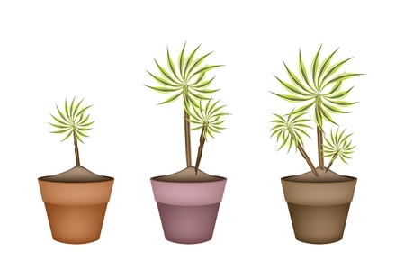 Home Interior, Illustration of Beautiful Dracaena Plant or Yucca Tree in Terracotta Flower Pots for Garden Decoration. Vector