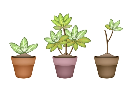 terracotta: Ecological Concept, Illustration of Dieffenbachia Camilla Tree in Terracotta Flower Pots for Garden Decoration.