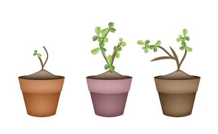bonsai tree: Bonsai Tree, Illustration Collection of Carmona Retusa (Vahl) or Masam Plant in Terracotta Flower Pots for Garden Decoration. Illustration