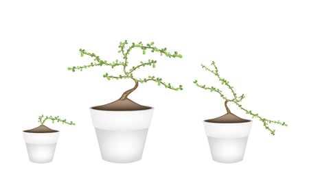 hedge trees: Bonsai Tree, Illustration of Carmona Retusa (Vahl) or Masam Plant in Terracotta Flower Pots for Garden Decoration. Illustration