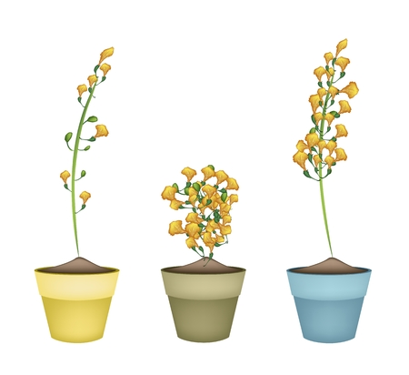 fistula: Beautiful Flower, Yellow Color of Padauk Flower or Papilionoideae Flower in Ceramic Pots or Terracotta Plant Pots  for Garden Decoration.