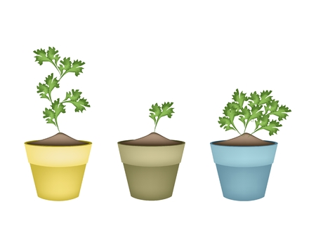 cilantro: Vegetable and Herb, Illustration of Fresh Parsley, Chinese Parsley or Coriander in Ceramic Flower Pots or Terracotta Plant Pots  for Garden Decoration.