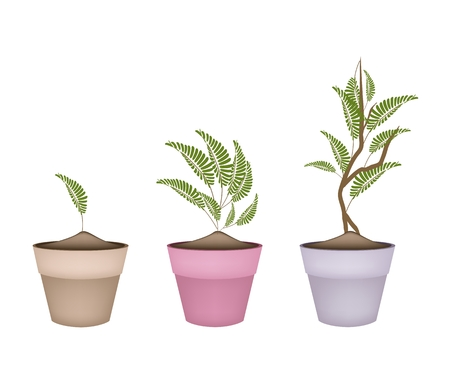 terracotta: Ecological Concept, Illustration Fresh Green Tamarind Tree and Green Leaves in Ceramic Flower Pots or Terracotta Plant Pots for Garden Decoration.