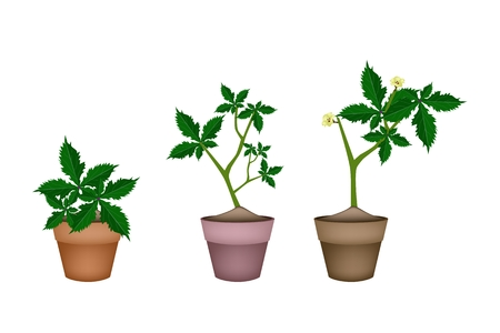 Vegetable and Herb, Illustration of Okra or Lady Finger Plant with Yellow Blossom in Terracotta Plant Pots  for Garden Decoration. Vector