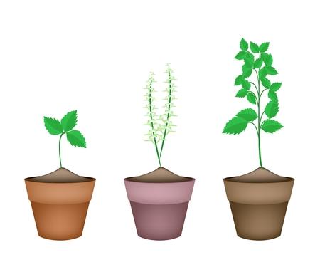basil herb: Vegetales y hierbas, ilustraci�n de Santo Basils o Sagrado albahaca Plantas en Macetas de terracota.