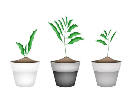 siamese: Gem�se und Kr�uter, Illustration von drei wei�en Kardamom oder Siamese Kardamom Plant in Terrakotta-Blument�pfe. Illustration