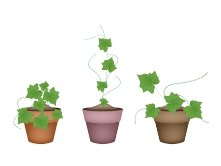 thai herb: Vegetable and Herb, Illustration of Three Coccinia Grandis or Ivy Gourd in Terracotta Flower Pots for Garden Decoration.
