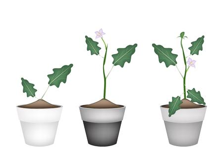 berenjena: Vegetal, Ilustraci�n de verde Berenjena �rbol con flor p�rpura en macetas de terracota para decoraci�n de jard�n.