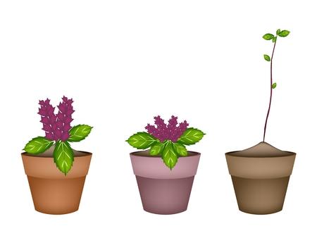 basil herb: Vegetales y hierbas, ilustraci�n de Thai Sweet Planta de la albahaca con hermosas flores en macetas de terracota usados ??para el condimento en la cocina. Vectores