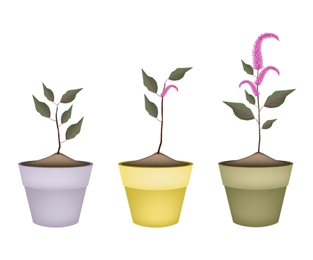 Vegetable and Herb, Illustration of Fresh Amaranth or Amaranthus Cruentus Plant with Beautiful Purple Blossom in Terracotta Flower Pots for Garden Decoration.