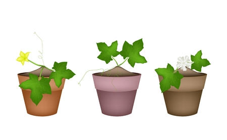 marrow: Vegetable and Herb, Illustration of Marrow Plant with Blossoms in Terracotta Flower Pots for Garden Decoration.