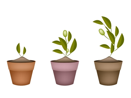 terracotta: Illustration of Green Olives and Leaves Hanging on Small Tree Branch in Terracotta Flower Pots for Garden Decoration.