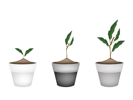 hedge trees: Houseplant, Illustration of Three Ornamental Green Trees and Plants in Ceramic Plant Pots for Garden Decoration.