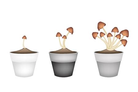 spores: Vegetable, Illustration of Three Straw Mushrooms on Brown Straw in Terracotta Flower Pots for Garden Decoration.