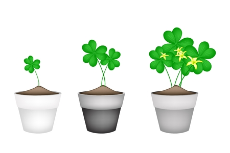 cloverleafes: Verdura e Herb, Illustrazione di Crescere Water Clover piante o Shamrock con foglie e fiore in Terracotta Vasi per decorazione del giardino.