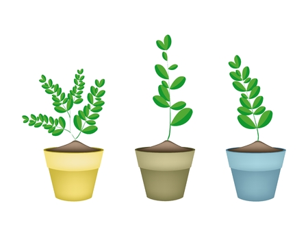 sajna: Vegetable and Herb, Illustration of Three Fresh Moringa Tree in Terracotta Flower Pots for Garden Decoration.