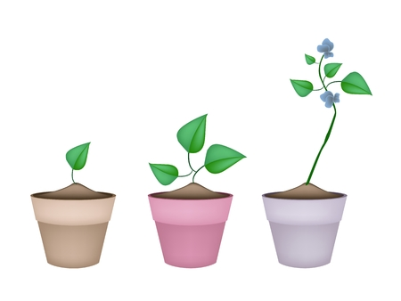 three angled: Vegetable, Illustration of Three Winged Bean, Goa Bean or Four Angled Bean with Green Leaves and Blossom on A Vine in Terracotta Flower Pots.
