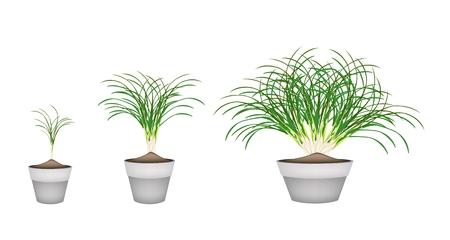 lemon grass: Vegetable and Herb, Illustration of Three Fresh Lemon Grass Plant in Terracotta Flower Pots for Garden Decoration.
