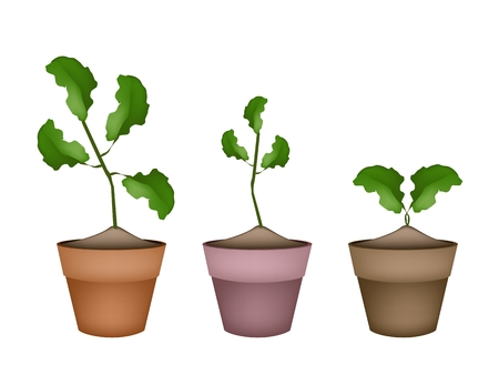 citrus tree: Vegetales y hierbas, ilustraci�n de tres Limes �rbol o Citrus �rbol en terracota Macetas para decoraci�n de jard�n.