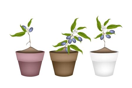 작은 숲: Fruit, Illustration of Three China Olives or Olive Grove with Leaves and Blossom Hanging on Tree Branch in Terracotta Flower Pots for Garden Decoration.