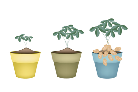 processed grains: Illustration of Fresh Peanuts or Groundnut with Groundnut Plants With Groundnuts And Roots in Terracotta Flower Pots, Good Source of Dietary Fiber, Vitamins and Minerals. Illustration