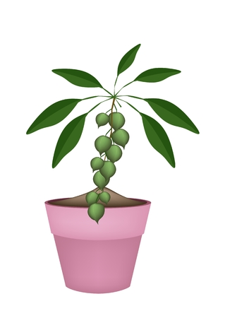 dietary fiber: Fresh Macadamia Nuts on Tree in Three Terracotta Flower Pots, Good Source of Dietary Fiber, Vitamins and Minerals.